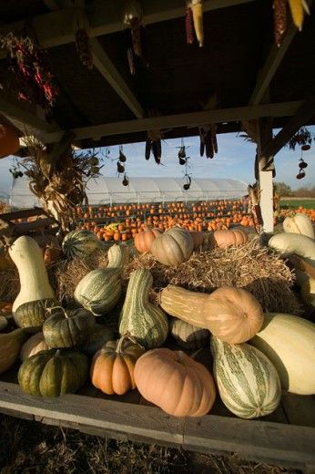 Large group of pumpkins at a vegetable market : Stock Photo
