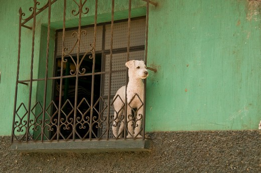 Stock Photo: 1336-1119 Low angle view of a dog at a window, Guatemala