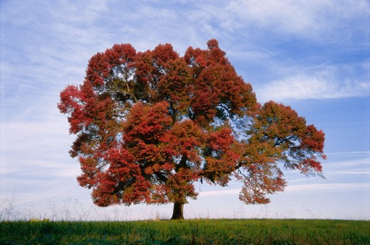 A tree in a field in Autumn : Stock Photo