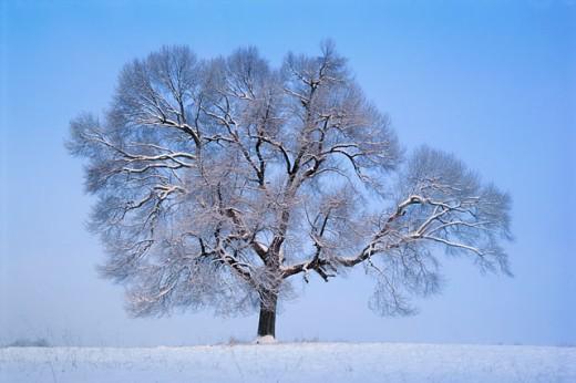 Stock Photo: 1339-407C A tree in a field in Winter