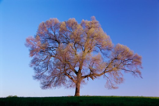 A tree in a field in Spring : Stock Photo
