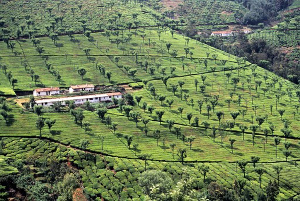 Stock Photo: 1340-1093 India, Tamil Nadu State, Nilgirs, Coonoor, Tea Gardens