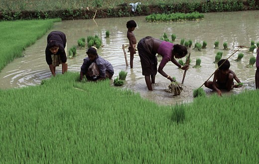 Women pulling out rice seedlings in a field, Tamil Nadu, India : Stock Photo