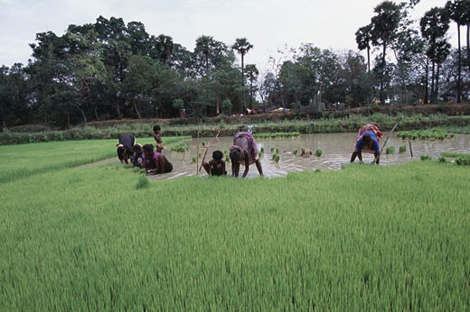 Stock Photo: 1340-802 Women pulling out rice seedlings in a field, Tamil Nadu, India