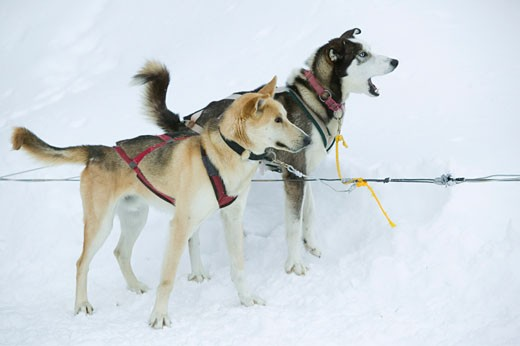Side profile of two Alaskan huskies standing on snow, Jackson, Wyoming, USA : Stock Photo