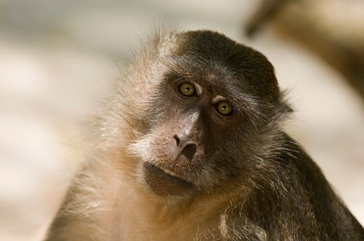 Close-up of a monkey, Monkey Beach, Phi Phi Don, Phi Phi Islands, Thailand : Stock Photo