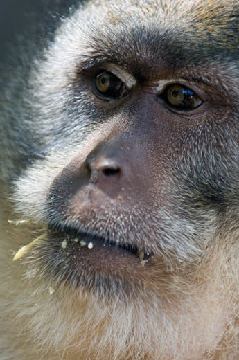 Stock Photo: 1344-1515F Close-up of a monkey, Monkey Beach, Phi Phi Don, Phi Phi Islands, Thailand