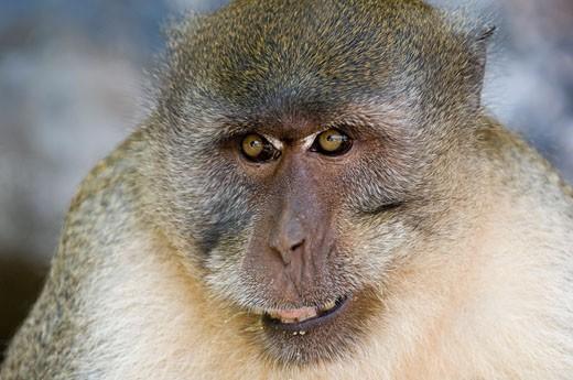 Close-up of a monkey, Monkey Beach, Phi Phi Don, Phi Phi Islands, Thailand : Stock Photo