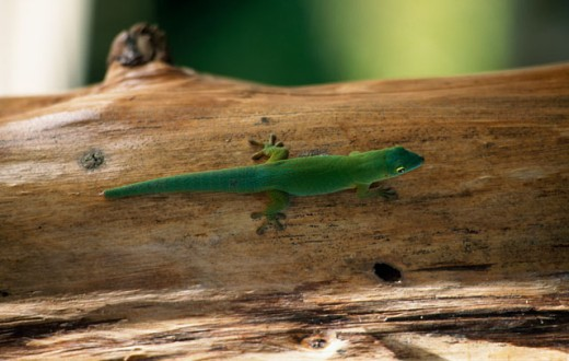 Stock Photo: 1345-1071 Close-up of a Common Green Gecko on a tree trunk (Naultinus elegans)