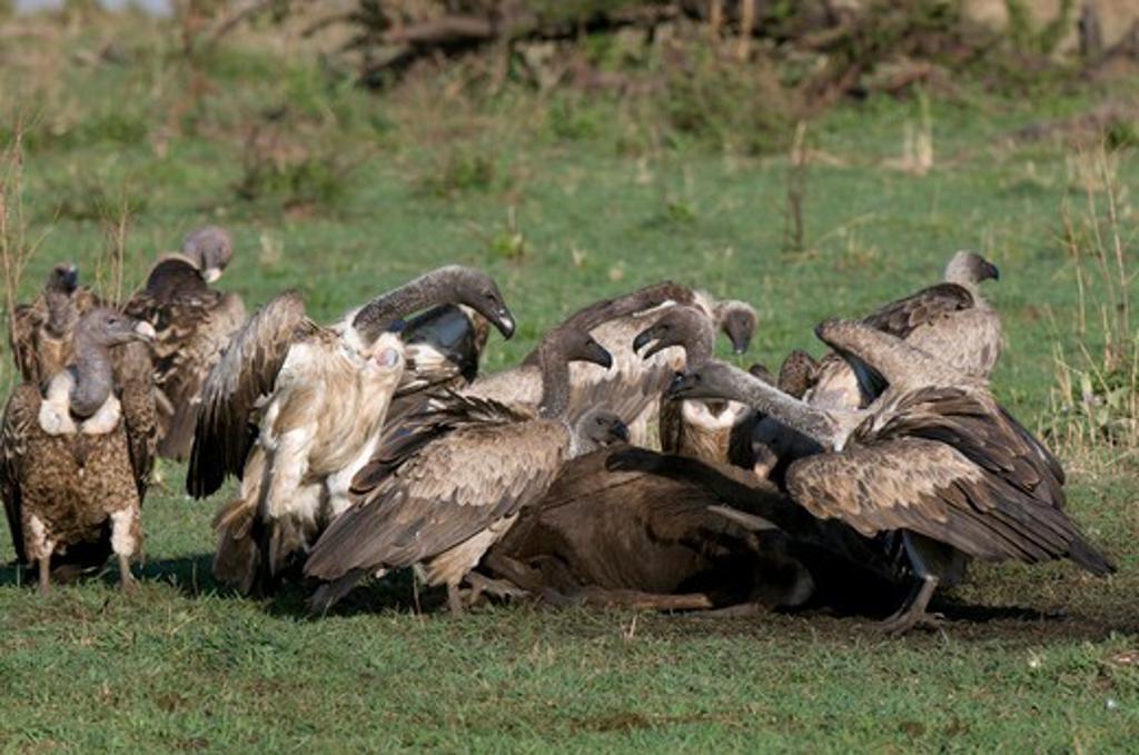 Vultures feeding on a dead wildebeest, Masai Mara National Reserve, Kenya : Stock Photo