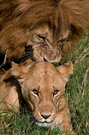 Lion and a lioness (Panthera leo) mating in a forest, Masai Mara National Reserve, Kenya : Stock Photo