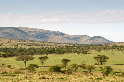 Trees on a landscape, Masai Mara National Reserve, Kenya : Stock Photo