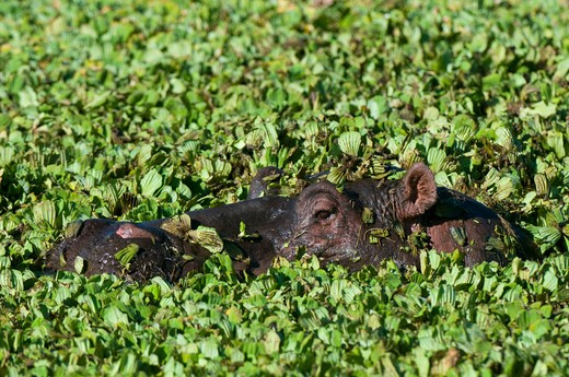 Hippopotamuses (Hippopotamus amphibius) swimming in a pond, Masai Mara National Reserve, Kenya : Stock Photo