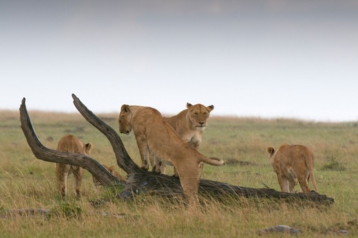 Four lionesses (Panthera leo) in a forest, Masai Mara National Reserve, Kenya : Stock Photo