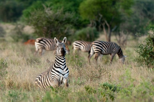 Grant's zebras (Equus quagga boehmi) in a field, Lualenyi Game Reserve, Kenya : Stock Photo