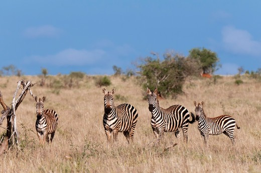 Stock Photo: 1345-2130 Grant's zebras (Equus quagga boehmi) in a field, Lualenyi Game Reserve, Kenya