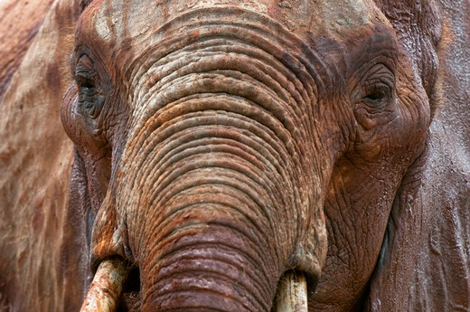 Close-up of an African elephant (Loxodonta africana), Tsavo East National Park, Kenya : Stock Photo
