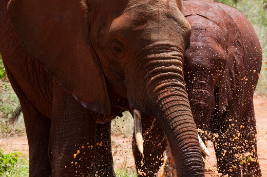 Stock Photo: 1345-2145 African elephant (Loxodonta africana) and calf mudbathing, Tsavo East National Park, Kenya
