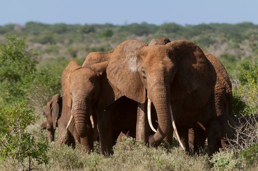 Stock Photo: 1345-2162 Herd of African elephants (Loxodonta africana), Tsavo East National Park, Kenya