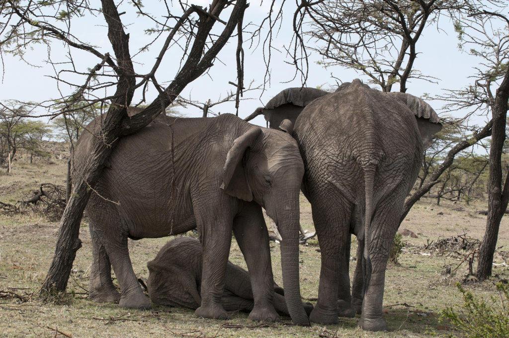 Africa, Kenya, Masai Mara, African Elephants (Loxodonta africana) : Stock Photo