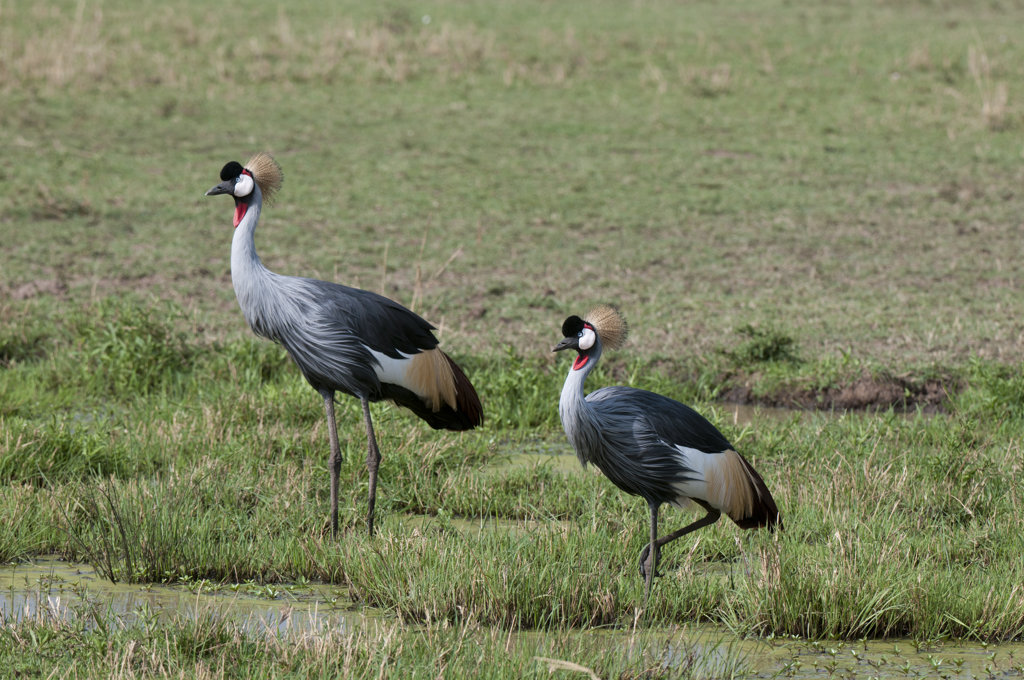 Kenya, Masai Mara National Reserve, Grey-crowned Cranes (Balearica regulorum) by pond : Stock Photo