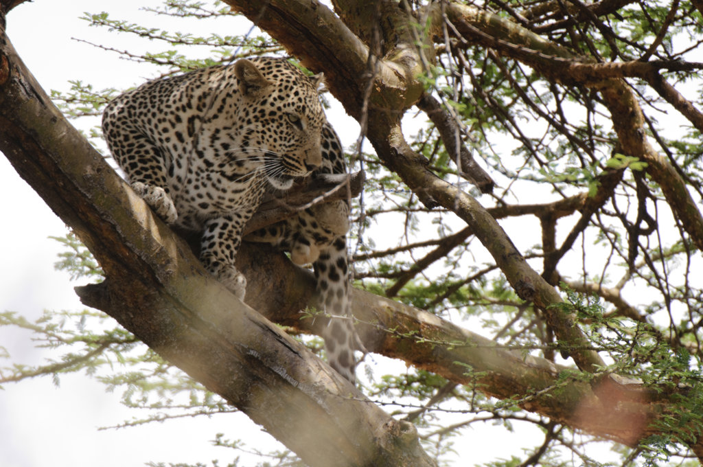 Kenya, Masai Mara National Reserve, Leopard (Panthera pardus) in tree : Stock Photo
