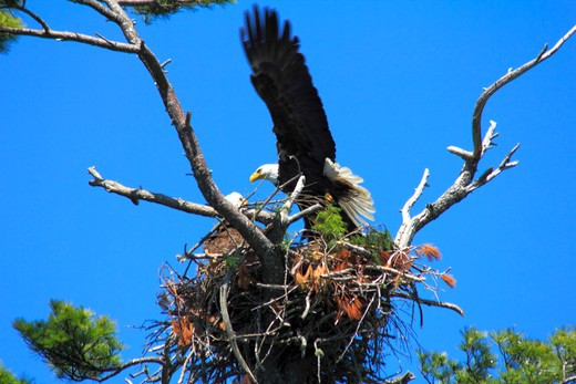 Low angle view of a Bald eagle (Haliaeetus leucocephalus) with its young one : Stock Photo