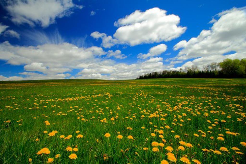 Stock Photo: 1346-1010 Spring Dandelions growing in field, Nova Scotia, Canada