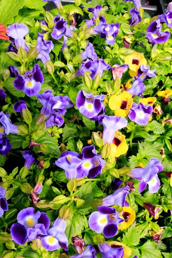Pansy flowers in a garden : Stock Photo