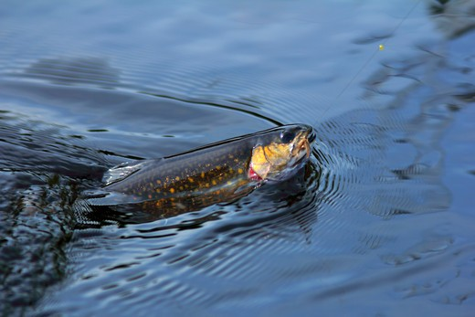 Close-up of a Brook trout (Salvelinus fontinalis) on a fishing line : Stock Photo