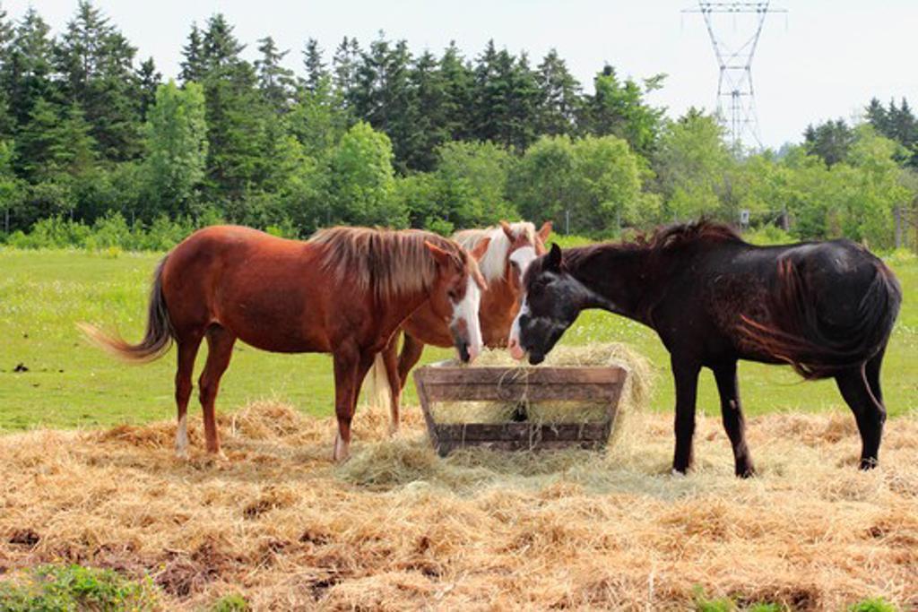 Ponies feeding at a trough, Sable Island, Nova Scotia, Canada : Stock Photo