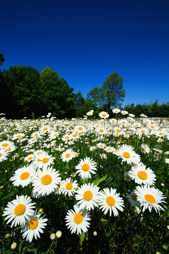 Aster and daisy flowers in a field : Stock Photo