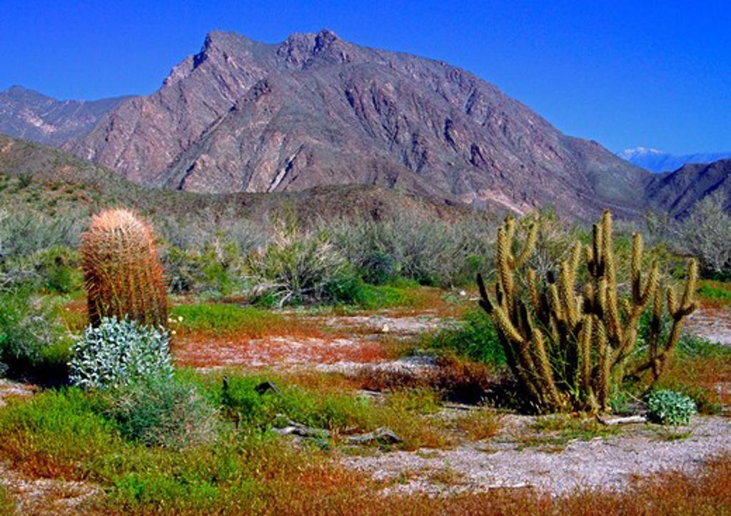 Plants growing in desert, Anza Borrego Desert State Park, California, USA : Stock Photo