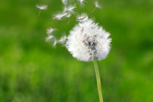 Stock Photo: 1346-1304 Close-up of Dandelion gone to seed