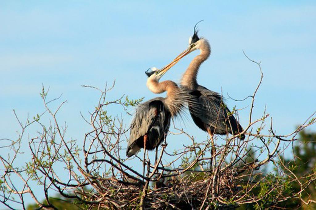 Stock Photo: 1346-1306 Great Blue Heron (Ardea herodias) mating, Venice, Florida, USA