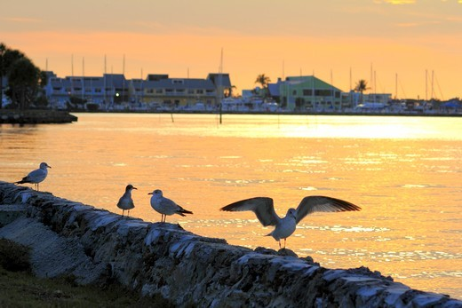 Stock Photo: 1346-1335 Seagulls at Charlotte Harbor, Fisherman's Village, Punta Gorda, Charlotte County, Florida, USA