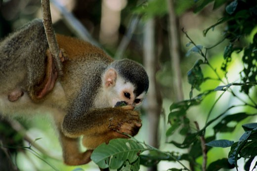 Stock Photo: 1346-135 Squirrel Monkey