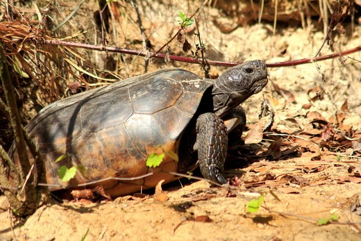 Gopher tortoise (Gopherus polyphemus), Oscar Scherer state park, Florida, USA : Stock Photo