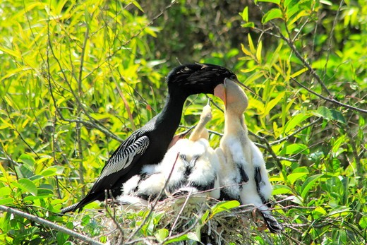 Stock Photo: 1346-1355 Anhinga (Anhinga anhinga) feeding it's young one in the nest, Everglades, Florida, USA