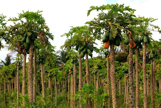 Stock Photo: 1346-1374 Papaya crop in Homestead, Florida, USA