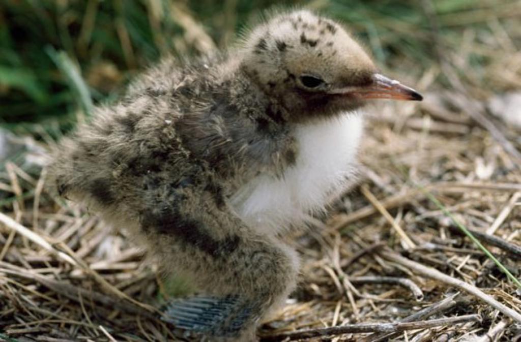 Common Tern : Stock Photo