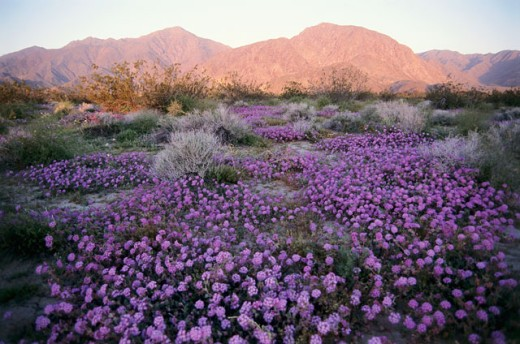 High angle view of wildflowers on a landscape, Anza Borrego Desert State Park, California, USA : Stock Photo