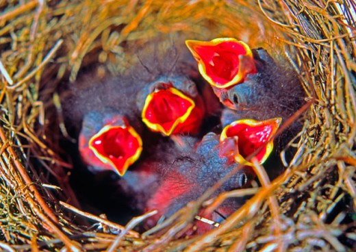 High angle view of four young junco birds in a nest : Stock Photo
