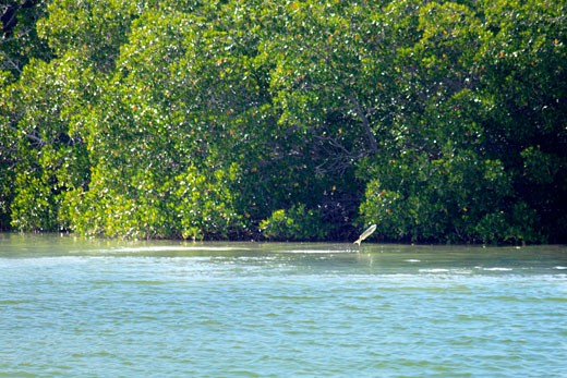 Fish jumping in front of mangrove trees, Everglades National Park, Florida, USA : Stock Photo