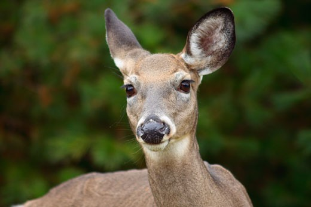 Close-up of a female White-Tailed deer (Odocoileus virginianus), Kejimkujik National Park, Nova Scotia, Canada : Stock Photo