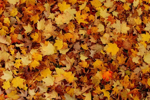 Stock Photo: 1346-942 Close-up of autumn leaves