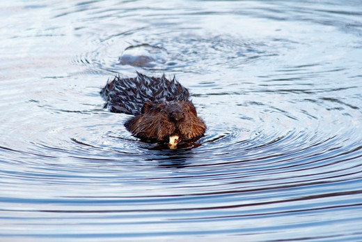 Close-up of a North American beaver (Castor canadensis) eating food in a pond, Canada : Stock Photo