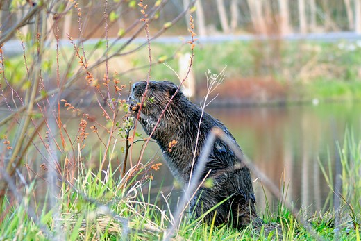 Close-up of a North American beaver (Castor canadensis) eating food near a pond, Canada : Stock Photo