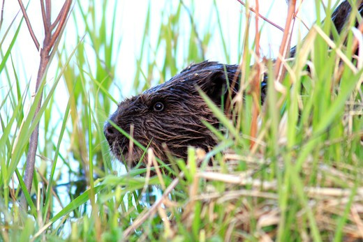 Close-up of a North American beaver (Castor canadensis) near a pond, Canada : Stock Photo
