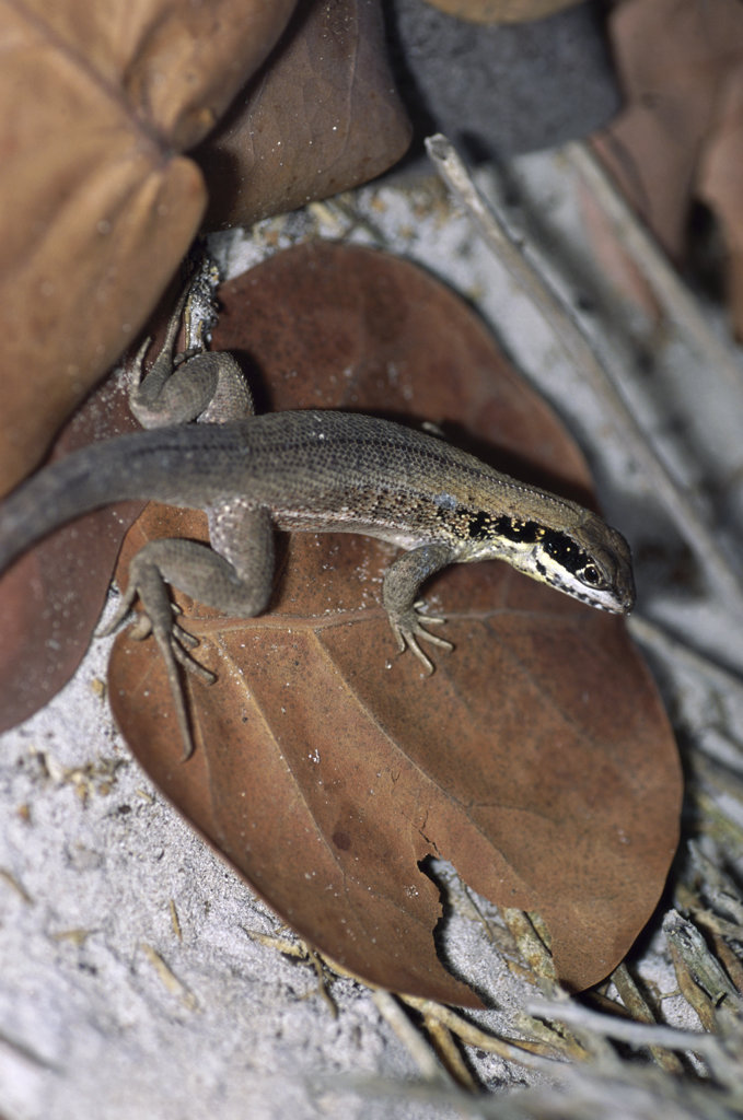High angle view of Cuban Brown Curly-tailed Lizard, Leiocephalus cubensis)  : Stock Photo